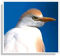 Cattle-Egret Bird