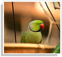 Parrot - Sariska National Park