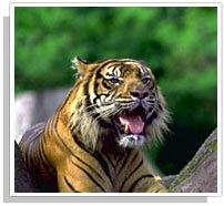 Tiger - Corbett National Park